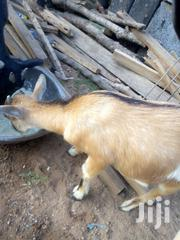Goats For Sale | Livestock & Poultry for sale in Northern Region, Yendi