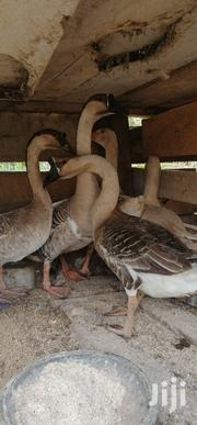 Chinese Geese For Sale | Livestock & Poultry for sale in Ashanti, Kumasi Metropolitan