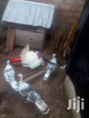 Turkeys For Sale | Livestock & Poultry for sale in Brong Ahafo, Techiman Municipal