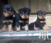 Young Male Purebred Rottweiler | Dogs & Puppies for sale in Greater Accra, East Legon
