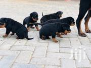 Baby Male Purebred Rottweiler | Dogs & Puppies for sale in Greater Accra, Dansoman
