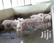 Healthy And Affordable Pigs | Livestock & Poultry for sale in Greater Accra, Tema Metropolitan