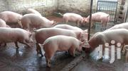 Healthy And Affordable Pigs For Sale. Well Kept Breed | Livestock & Poultry for sale in Greater Accra, Tema Metropolitan