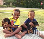 Baby Male Purebred Rottweiler   Dogs & Puppies for sale in Greater Accra, Dansoman