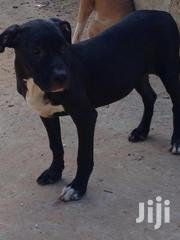 Young Male Purebred American Pit Bull Terrier | Dogs & Puppies for sale in Greater Accra, Ga West Municipal