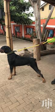 Adult Male Purebred Doberman Pinscher | Dogs & Puppies for sale in Greater Accra, Achimota