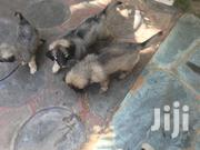 Baby Female Purebred Caucasian Shepherd Dog | Dogs & Puppies for sale in Greater Accra, Accra Metropolitan