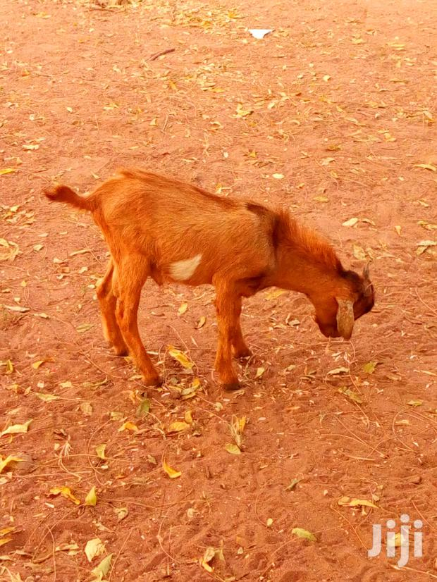 Archive: Goat For Sale