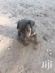 Baby Male Purebred Doberman Pinscher | Dogs & Puppies for sale in Greater Accra, Dansoman