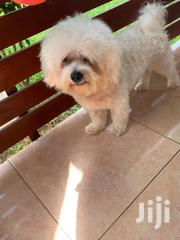 Adult Male Purebred Maltese | Dogs & Puppies for sale in Greater Accra, Osu