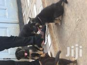 Baby Male Purebred German Shepherd Dog | Dogs & Puppies for sale in Greater Accra, Burma Camp
