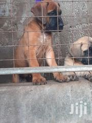 Baby Male Purebred Boerboel | Dogs & Puppies for sale in Greater Accra, East Legon