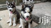 Baby Female Purebred Siberian Husky | Dogs & Puppies for sale in Greater Accra, Accra Metropolitan