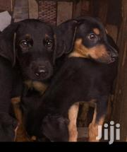 Young Male Purebred Doberman Pinscher | Dogs & Puppies for sale in Greater Accra, Abossey Okai