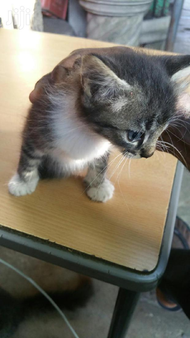 Archive: Baby Female Mixed Breed American Shorthair