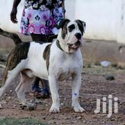 Adult Male Purebred Bulldog | Dogs & Puppies for sale in Greater Accra, Adenta Municipal