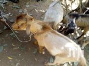 Goats On Sale | Livestock & Poultry for sale in Eastern Region, New-Juaben Municipal