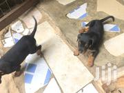 Baby Male Mixed Breed Rottweiler | Dogs & Puppies for sale in Greater Accra, Tesano