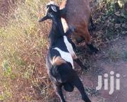With Affordable Price | Livestock & Poultry for sale in Northern Region, Gushegu