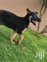 Young Male Purebred German Shepherd Dog | Dogs & Puppies for sale in Greater Accra, Adenta Municipal