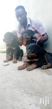 Baby Male Purebred Rottweiler | Dogs & Puppies for sale in Central Region, Agona East