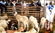 Sheep For Sale | Livestock & Poultry for sale in Northern Region, Saboba