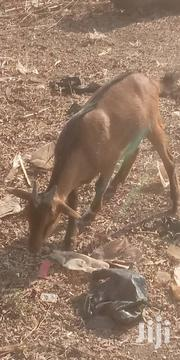 Goat For Sale | Livestock & Poultry for sale in Northern Region, Gushegu
