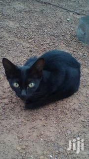 Cat For Sale | Cats & Kittens for sale in Northern Region, Chereponi