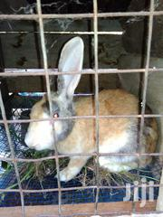 Haliquin Rabbit | Livestock & Poultry for sale in Greater Accra, Teshie-Nungua Estates