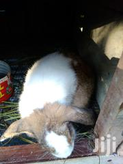 Male Rabbit | Other Animals for sale in Greater Accra, Teshie-Nungua Estates