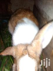 5 Months Old Male Rabbit | Other Animals for sale in Greater Accra, Teshie-Nungua Estates