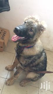 Young Male Purebred Caucasian Shepherd Dog | Dogs & Puppies for sale in Greater Accra, North Kaneshie