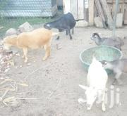 Goats For Sale | Other Animals for sale in Greater Accra, Tema Metropolitan