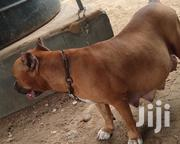 Adult Female Purebred American Pit Bull Terrier | Dogs & Puppies for sale in Greater Accra, Teshie-Nungua Estates