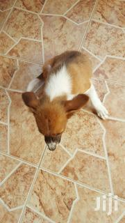 Baby Male Purebred Mongrel (No Breed) | Dogs & Puppies for sale in Greater Accra, Dansoman