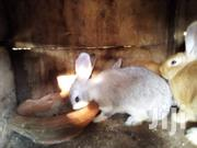 6 Months Old Rabbits | Livestock & Poultry for sale in Ashanti, Kumasi Metropolitan
