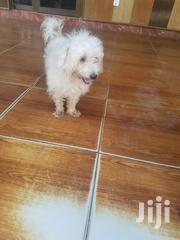Young Male Purebred Maltese | Dogs & Puppies for sale in Greater Accra, Ga South Municipal