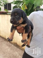 Baby Male Purebred Rottweiler | Dogs & Puppies for sale in Greater Accra, Ga East Municipal