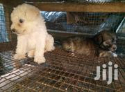 Baby Male Purebred Poodle | Dogs & Puppies for sale in Greater Accra, North Kaneshie