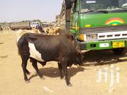 Healthy Cow | Livestock & Poultry for sale in Ashanti, Kumasi Metropolitan