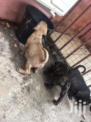 Brindle Boerboel Puppies | Dogs & Puppies for sale in Greater Accra, Achimota