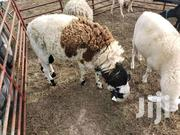 Sheep For Sale | Livestock & Poultry for sale in Northern Region, Chereponi