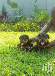 Baby Female Purebred Rottweiler | Dogs & Puppies for sale in Greater Accra, Adenta Municipal