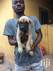 Young Male Mixed Breed Boerboel | Dogs & Puppies for sale in Ashanti, Kumasi Metropolitan