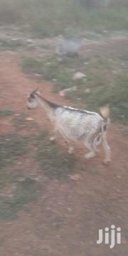 Goat For Selling | Livestock & Poultry for sale in Northern Region, Gushegu