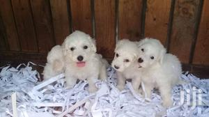 Baby Female Purebred Poodle