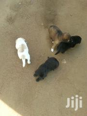 Baby Female Purebred Affenpinscher | Dogs & Puppies for sale in Greater Accra, Adabraka