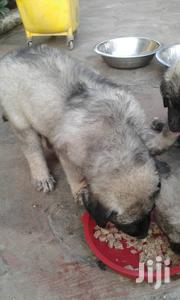 Baby Female Purebred Caucasian Shepherd Dog | Dogs & Puppies for sale in Greater Accra, Adenta Municipal