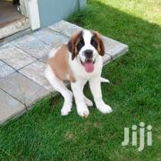 Baby Male Purebred Saint Bernard | Dogs & Puppies for sale in Greater Accra, Airport Residential Area