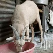 Goat For Sale | Livestock & Poultry for sale in Northern Region, Chereponi
